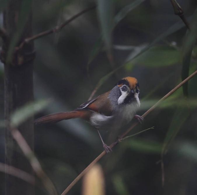 Black-throated Parrotbill by Gururaj Moorching - Organikos