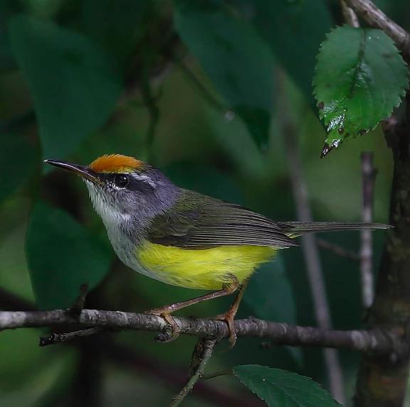 Mountain Tailorbird by Gururaj Moorching - Organikos