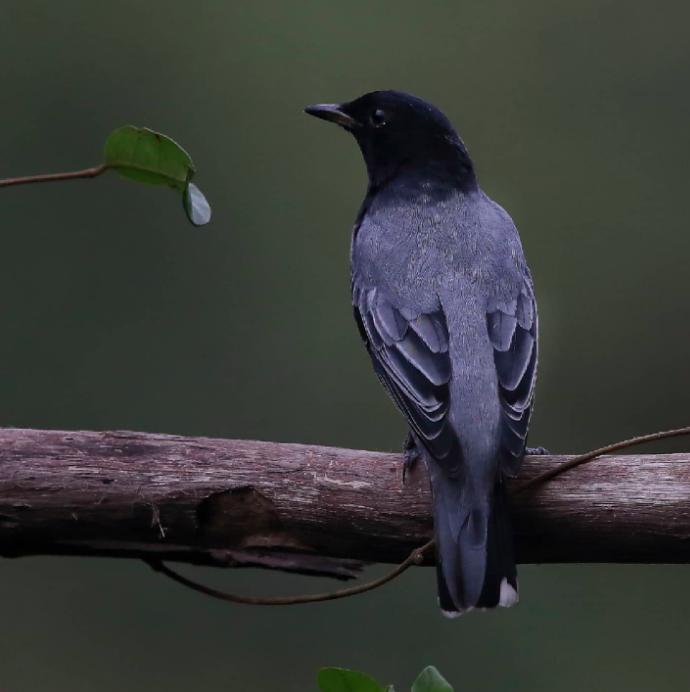 Black-headed Cuckoo Shrike by Gururaj Moorching - Organikos