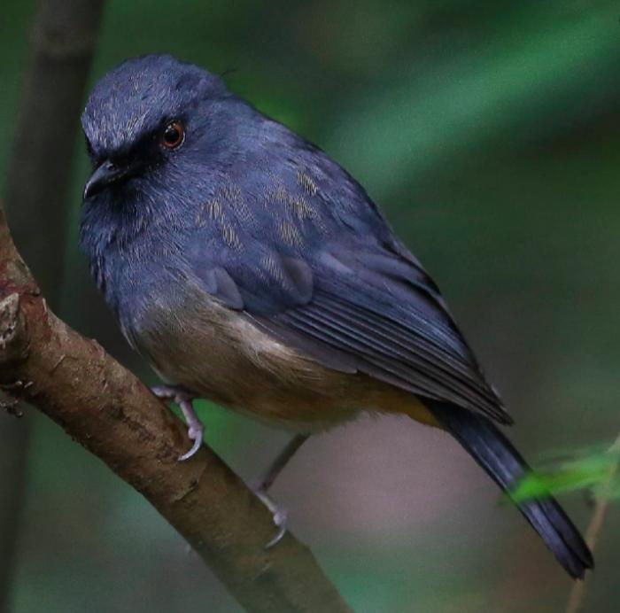 Nilgiri Blue Robin by Gururaj Moorching - Organikos