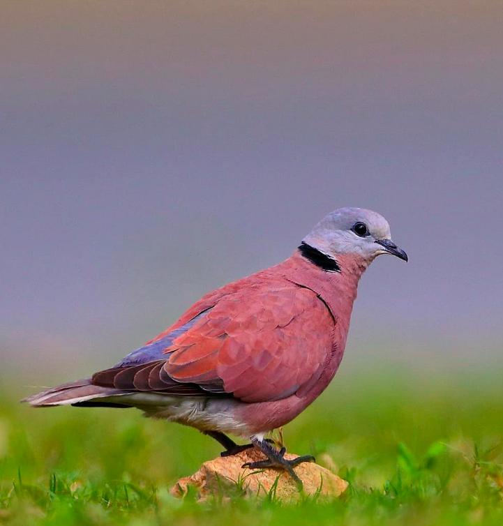 Red Collared Dove by Gururaj Moorching - Organikos