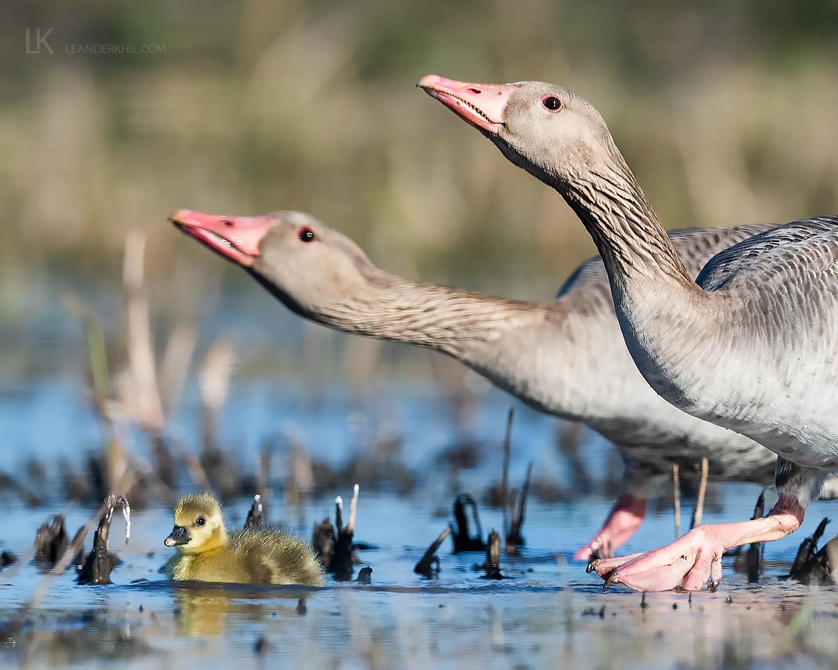 Greylag Goose by Leander Khil - Organikos