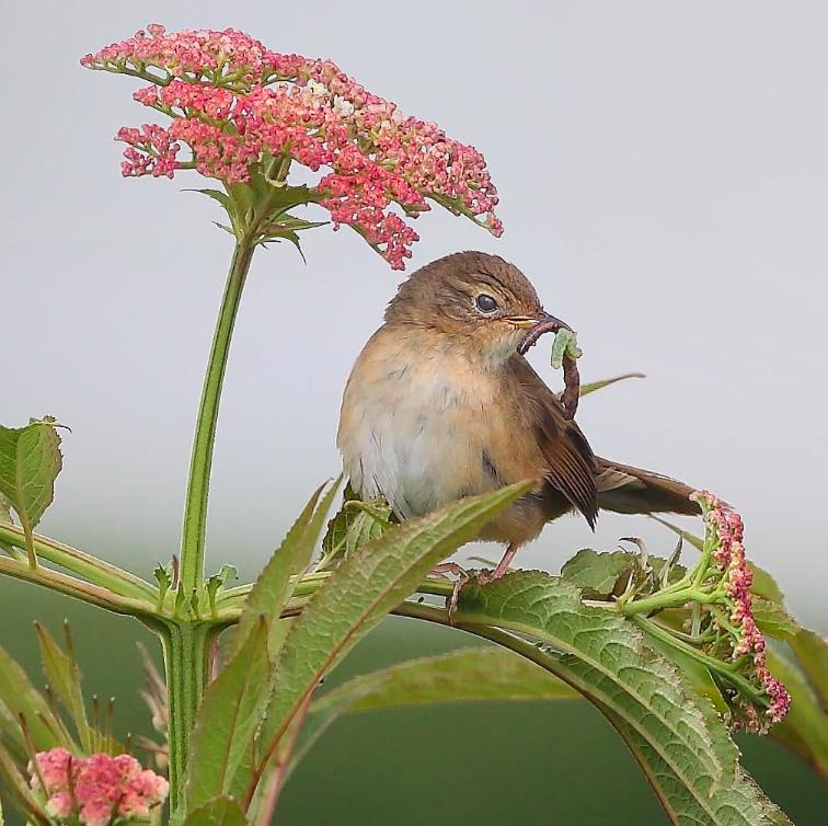 Brown Bush-Warbler by Gururaj Moorching - Organikos