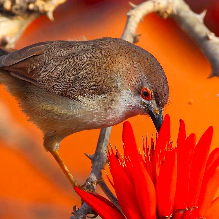 Yellow-eyed Babbler by Gururaj Moorching - Organikos