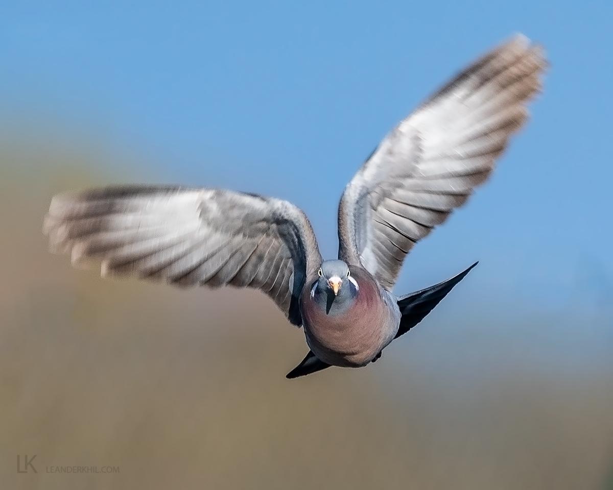Wood Pigeon by Leander Khil - Organikos