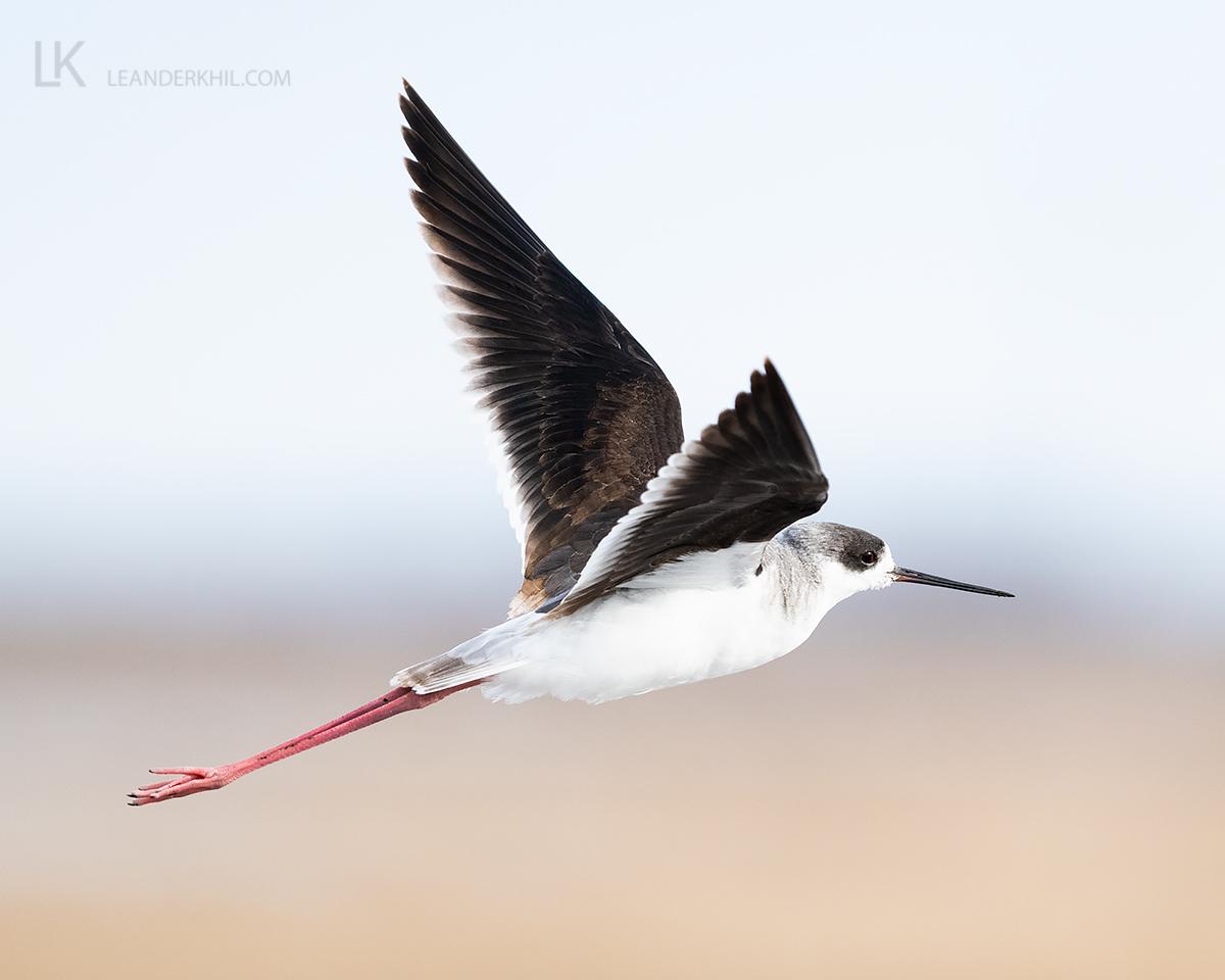 Black-winged Stilt by Leander Khil - Organikos