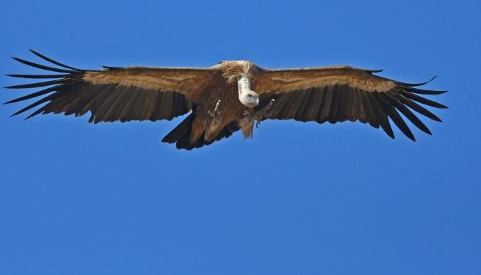 Griffon Vulture by Puneet Dhar - Organikos
