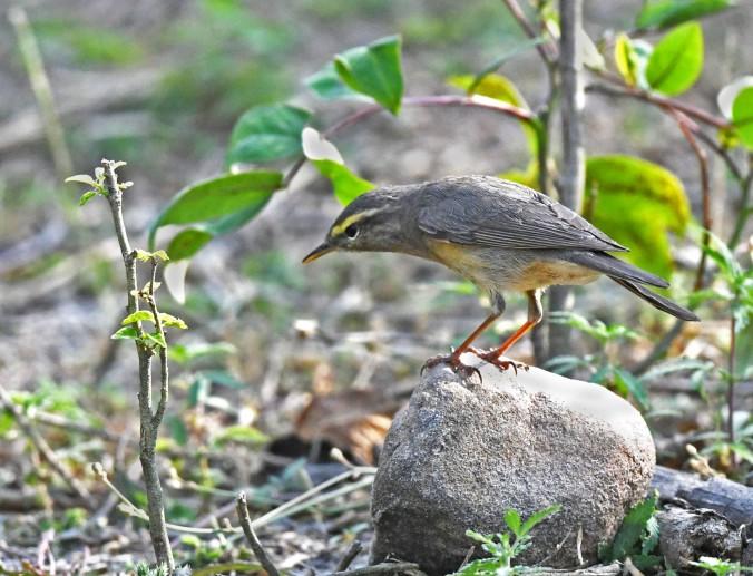 Sulfur-bellied Warbler by Puneet Dhar - Organikos