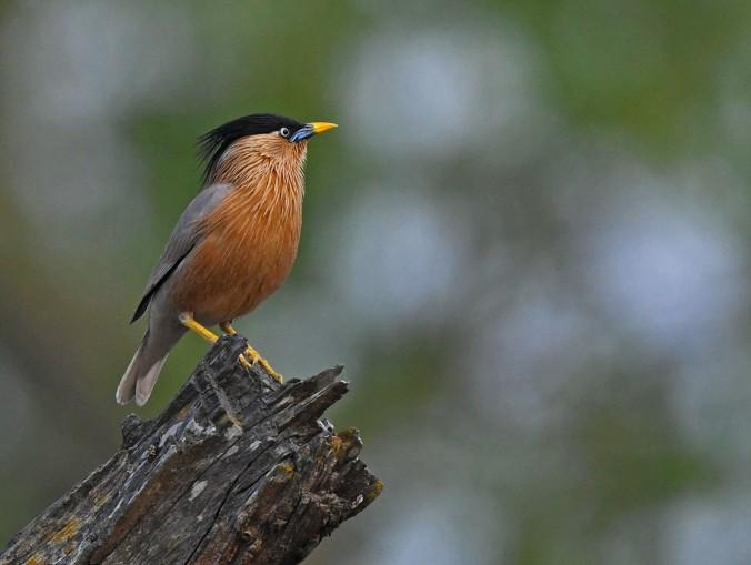 Brahminy Starling by Gururaj Moorching - Organikos