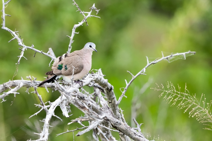 Emerald-Spotted Wood-dove by Leander Khil - Organikos