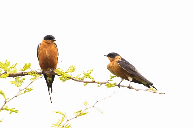 Red-breasted Swallow by Leander Khil -Organikos