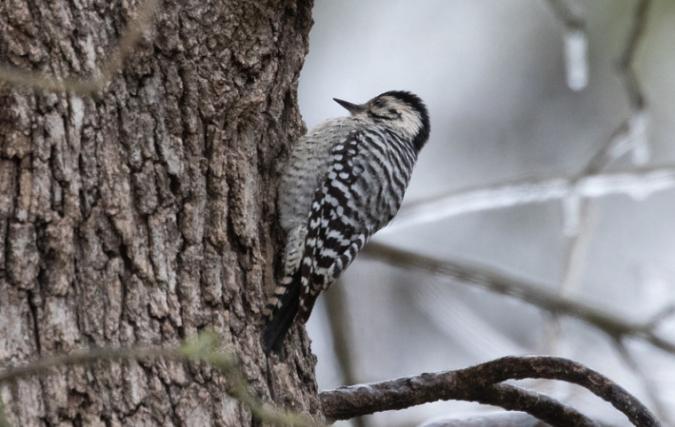 Ladder-backed Woodpecker by Richard Kostecke - Organikos