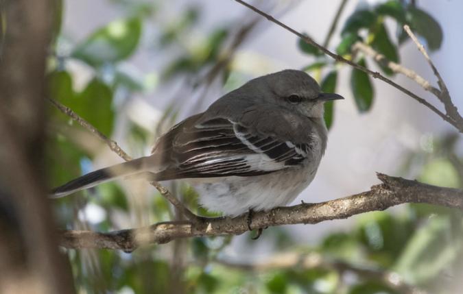 Northern Mockingbird by Richard Kostecke - Organikos