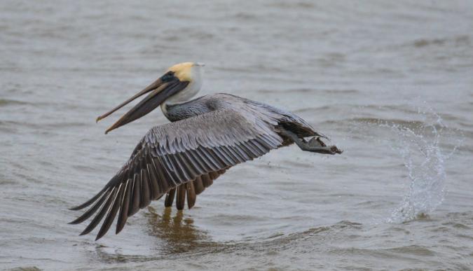 Brown Pelican by Richard Kostecke - Organikos