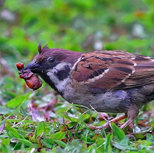 Eurasian Tree Sparrow by Gururaj Moorching - Organikos