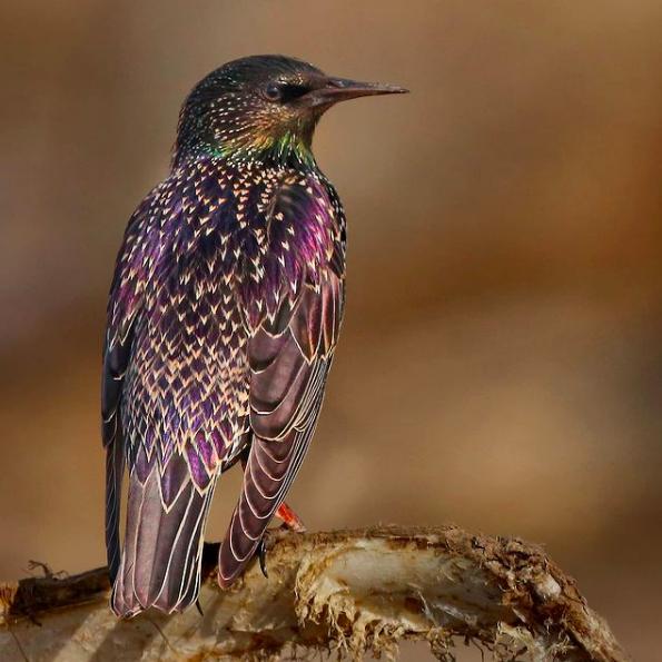 Common Starling by Gururaj Moorching - Organikos