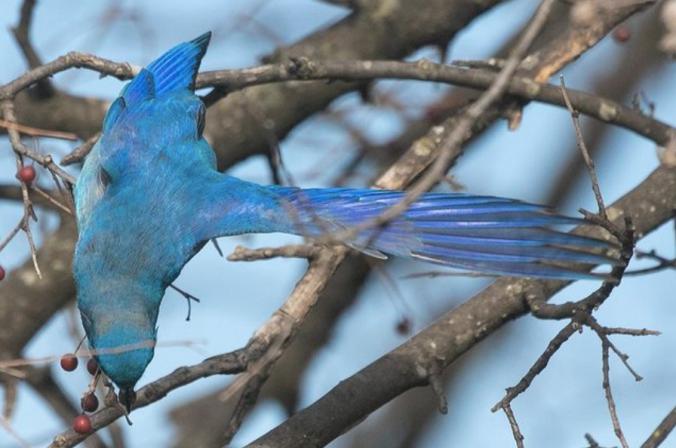 Mountain Bluebird by Richard Kostecke - Organikos