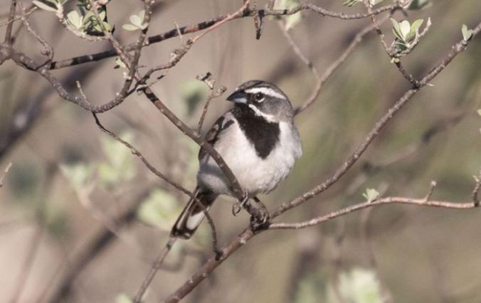 Black-throated Sparrow by Richard Kostecke - Organikos