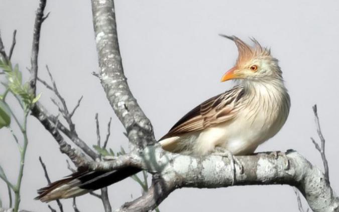 Guira Cuckoo by Hugo Santa Cruz - Organikos
