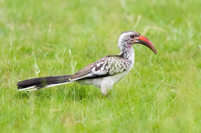 Southern Red-billed Hornbill by Leander Khil - Organikos