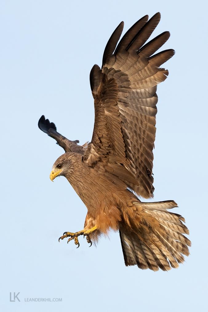Yellow-billed Kite by Leander Khil - Organikos