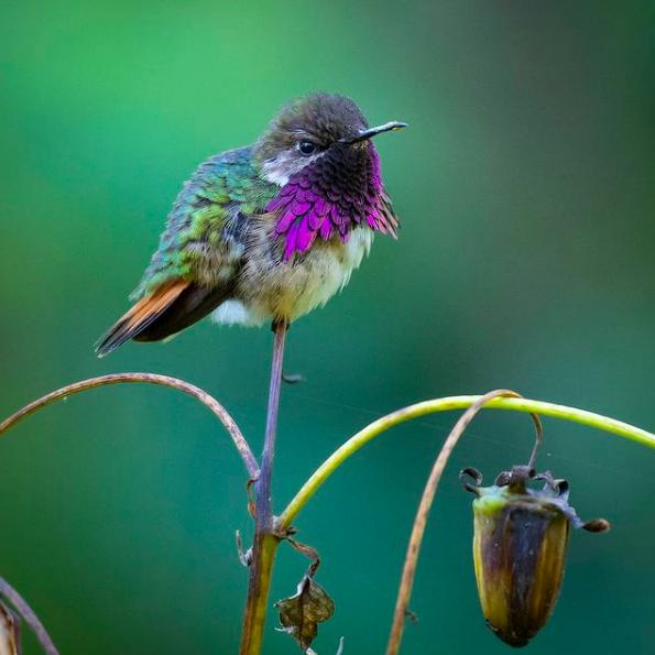 Wine-throated Hummingbird  by Daniel Aldana - Organikos