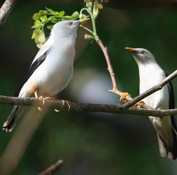 White-headed Starling by Gururaj Moorching - Organikos