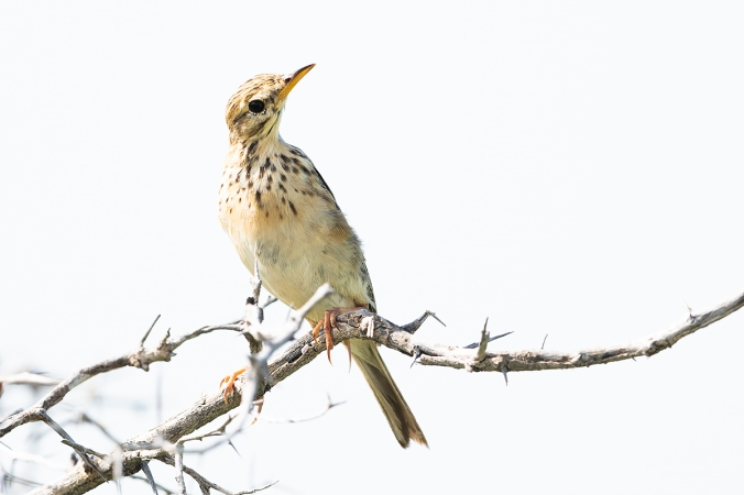 African Pipit by Leander Khil - Organikos