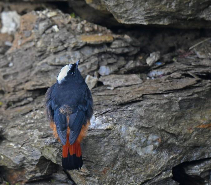 White-capped Redstart by Puneet Dhar - Organikos