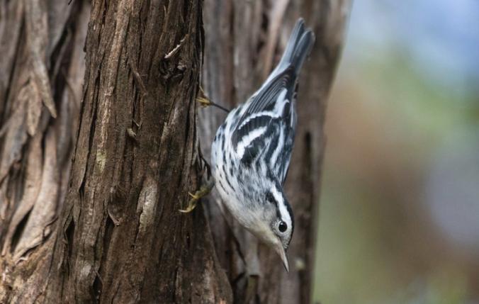Black-and-white Warbler by Richard Kostecke - Organikos